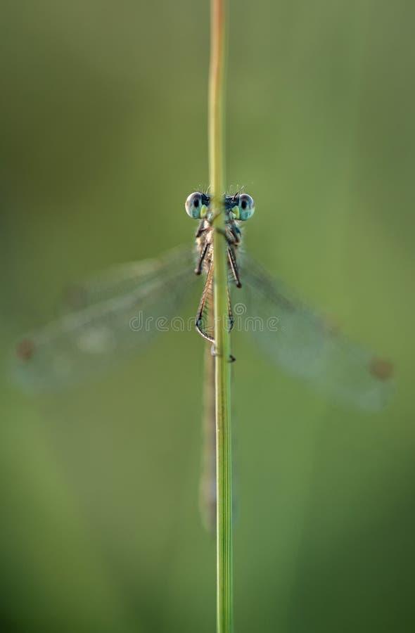 Λιγοστό σμαραγδένιο Damselfly που κρατά τα μάτια έξω για τους κινδύνους στοκ φωτογραφίες
