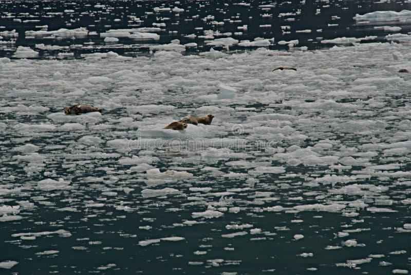 Λιμενικές σφραγίδες που στηρίζονται στους επιπλέοντες πάγους πάγου στοκ φωτογραφία