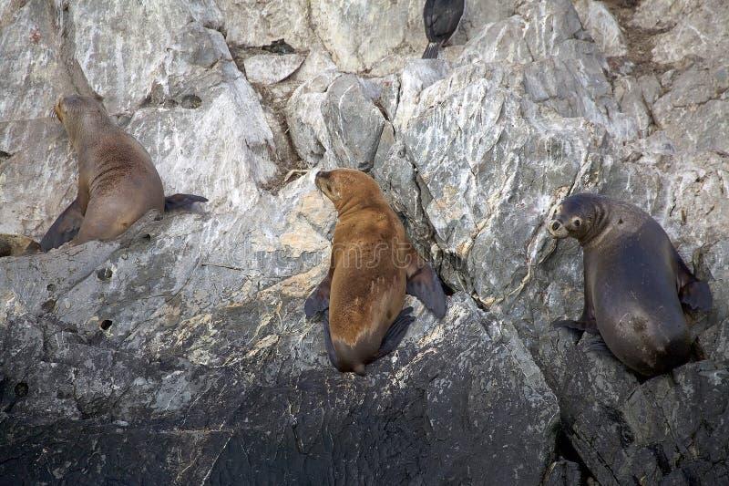 Λιοντάρια θάλασσας στο νησί στο κανάλι λαγωνικών, Αργεντινή στοκ εικόνες με δικαίωμα ελεύθερης χρήσης