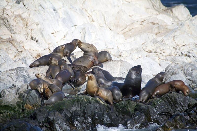 Λιοντάρια θάλασσας στο νησί στο κανάλι λαγωνικών, Αργεντινή στοκ εικόνες