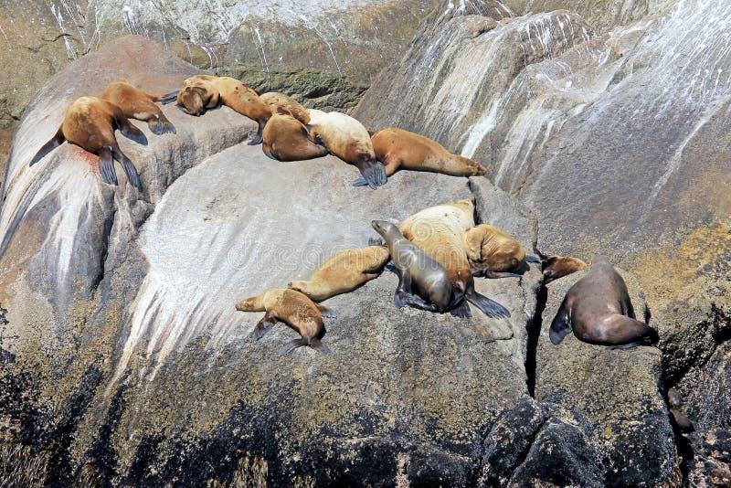 Λιοντάρια θάλασσας Steller σε ένα νησί στο εθνικό πάρκο φιορδ Kenai στην Αλάσκα στοκ φωτογραφίες με δικαίωμα ελεύθερης χρήσης