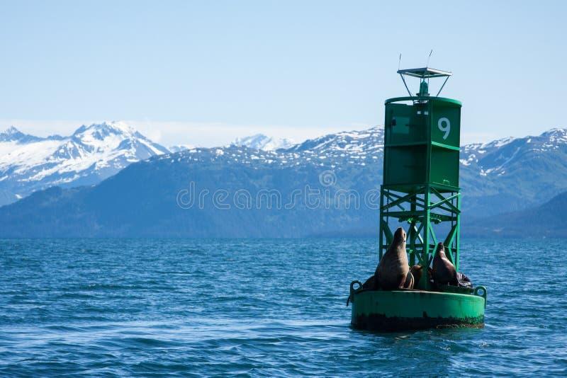 Λιοντάρια θάλασσας στην Αλάσκα στοκ εικόνες