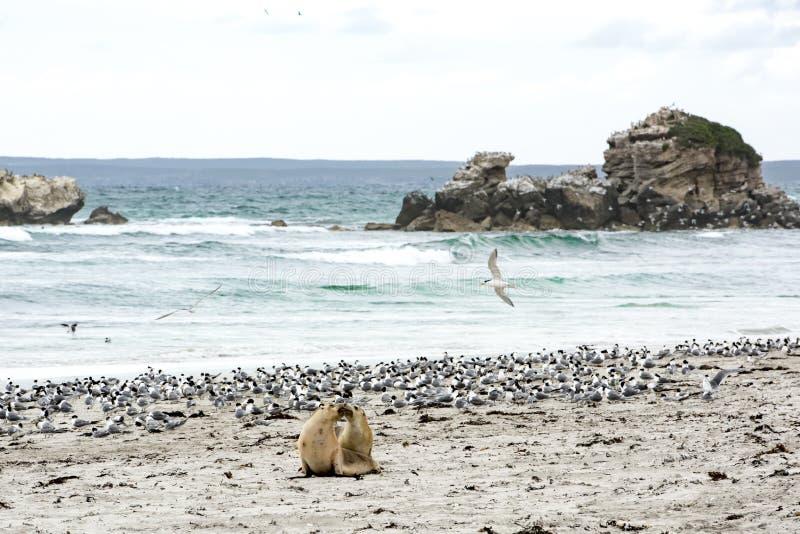 Λιοντάρια θάλασσας φιλήματος, νησί καγκουρό στοκ εικόνα