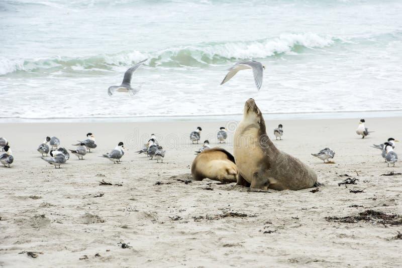 Λιοντάρια θάλασσας, seagulls, νησί καγκουρό στοκ φωτογραφία