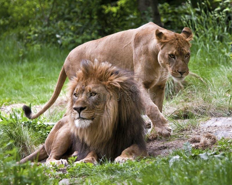 λιοντάρια που ζευγαρών&omicro στοκ φωτογραφία