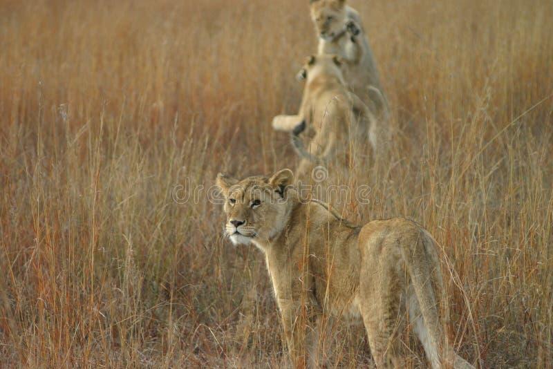 λιοντάρια που παίζουν τι&si στοκ εικόνες