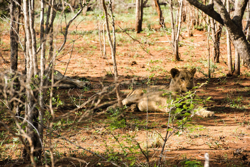 Λιοντάρια που στηρίζονται στη σκιά στοκ φωτογραφίες