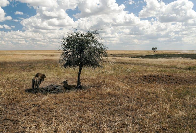Λιοντάρια στη σκιά στοκ φωτογραφία με δικαίωμα ελεύθερης χρήσης