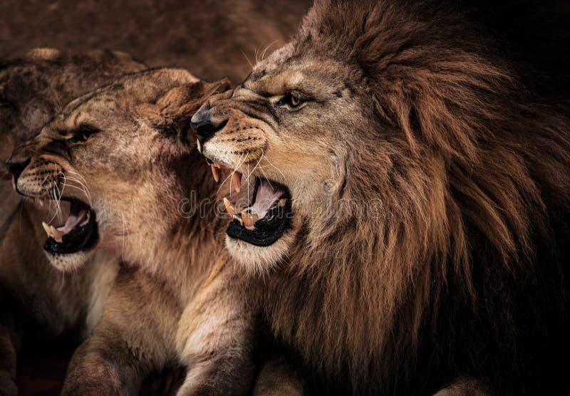 Λιοντάρια στο τσίρκο στοκ φωτογραφία