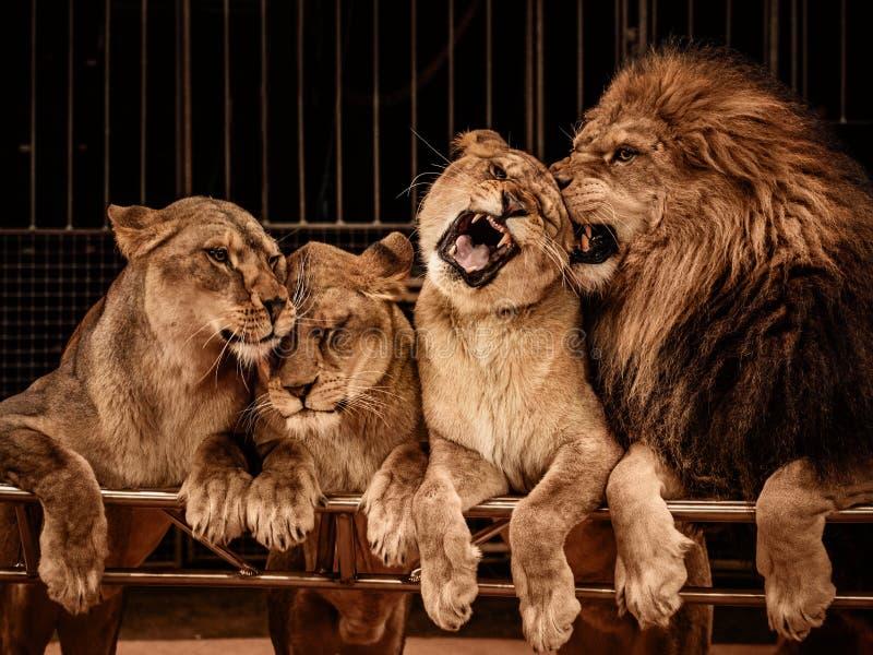 Λιοντάρια στο τσίρκο στοκ εικόνες