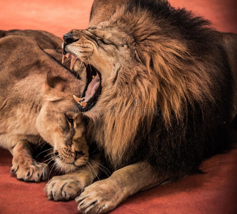 Λιοντάρια στο τσίρκο στοκ εικόνες με δικαίωμα ελεύθερης χρήσης