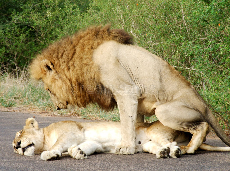 λιοντάρια της Αφρικής που ζευγαρώνουν δύο στοκ εικόνες
