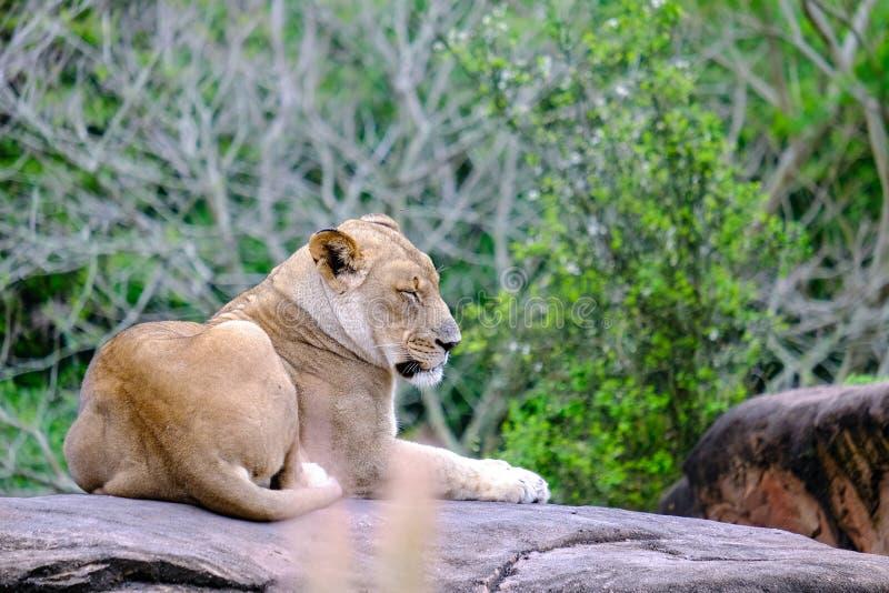 Λιοντάρι βουνών κοιμισμένο στο βράχο στοκ εικόνα