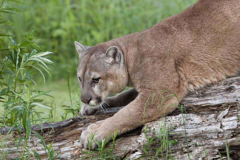 Λιοντάρι βουνών που ακονίζει τα νύχια του στοκ φωτογραφίες με δικαίωμα ελεύθερης χρήσης
