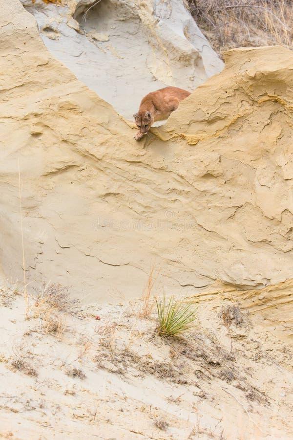 Λιοντάρι βουνών που κρυφοκοιτάζει πέρα από την άκρη ή την κορυφογραμμή στοκ εικόνα με δικαίωμα ελεύθερης χρήσης