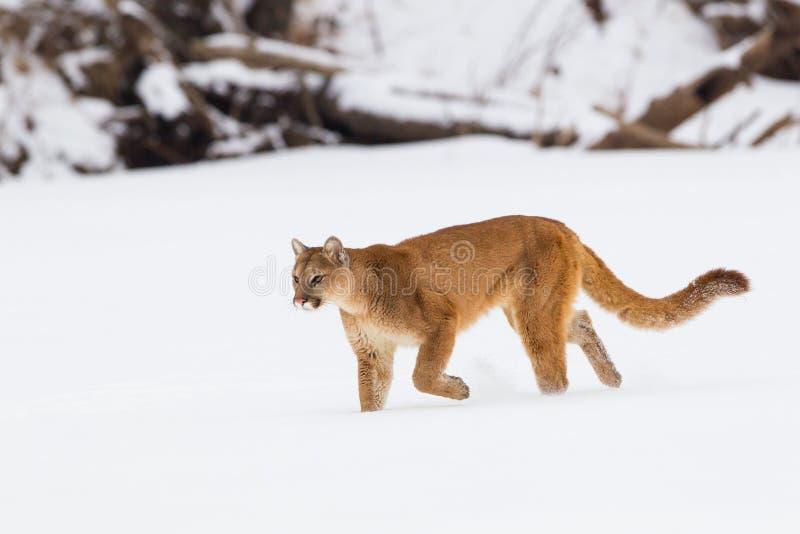 Λιοντάρι βουνών σε ένα κυνήγι στοκ εικόνες με δικαίωμα ελεύθερης χρήσης
