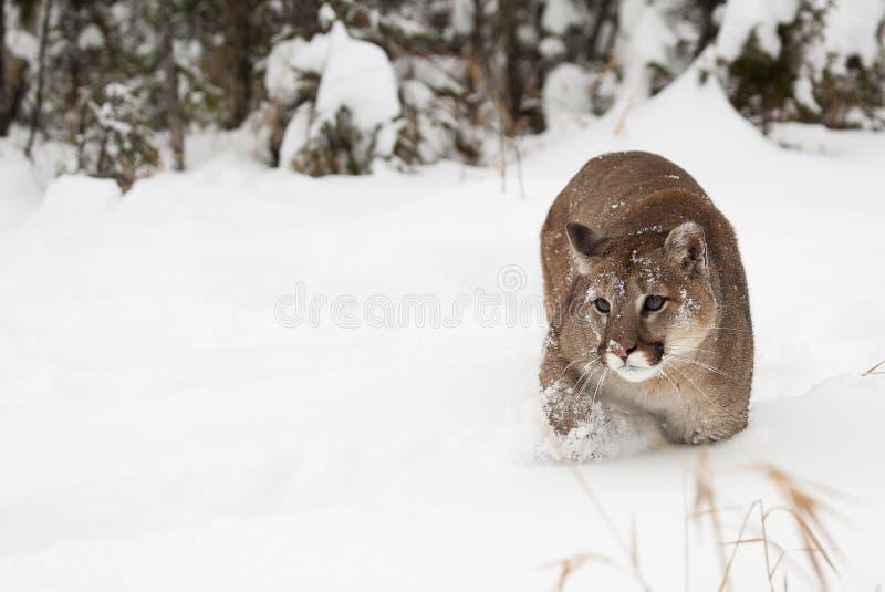 Λιοντάρι βουνών στο χιόνι με το δέντρο πεύκων στο υπόβαθρο στοκ εικόνες με δικαίωμα ελεύθερης χρήσης