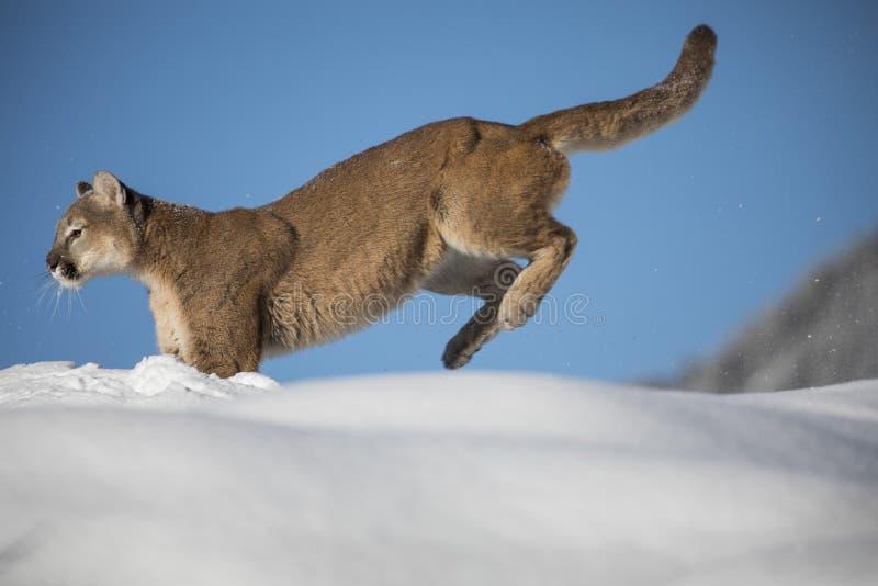 Λιοντάρι βουνών στο χιόνι στοκ εικόνες με δικαίωμα ελεύθερης χρήσης