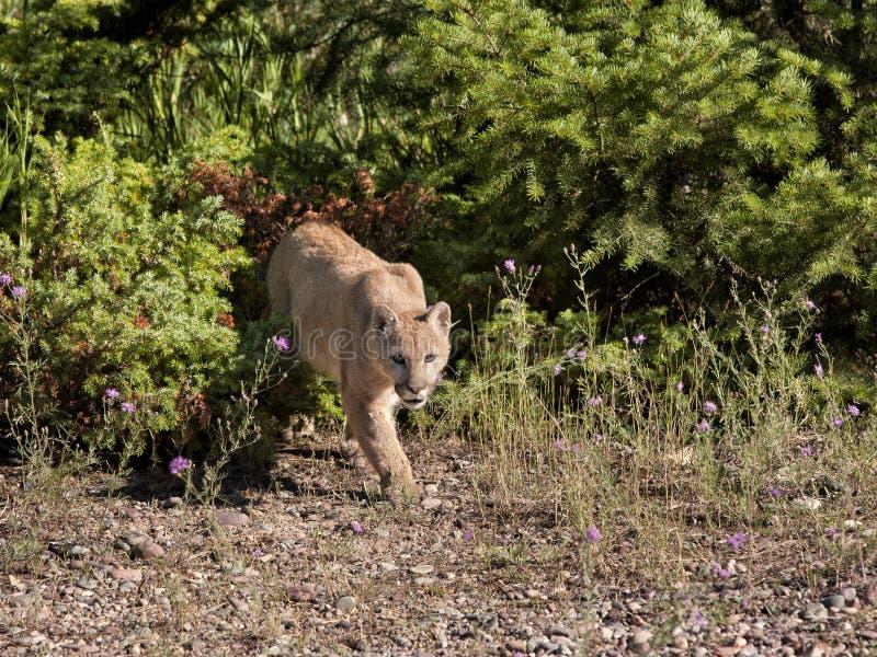 Λιοντάρι βουνών στο Prowl Στοκ Εικόνες