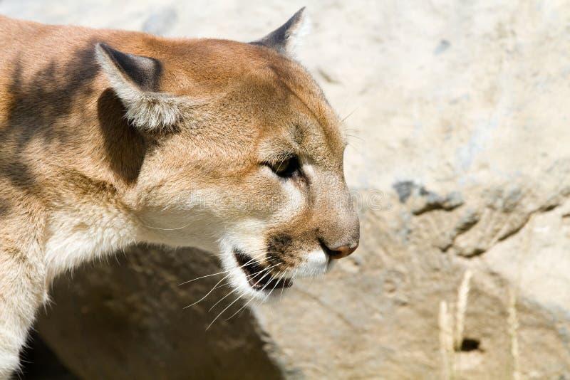 Λιοντάρι βουνών στοκ φωτογραφίες με δικαίωμα ελεύθερης χρήσης