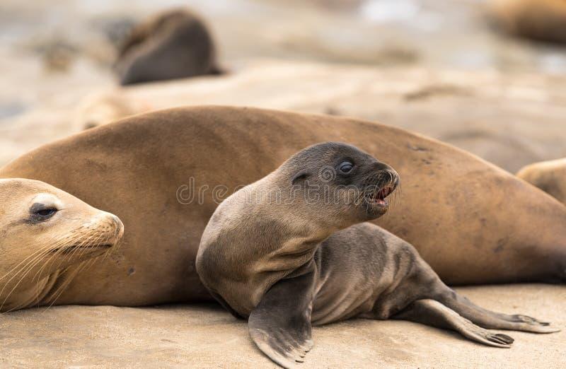 Λιοντάρι θάλασσας Mom και μωρών στοκ φωτογραφία