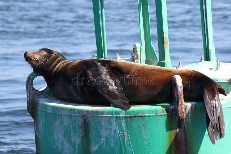 Λιοντάρι θάλασσας Καλιφόρνιας κοιμισμένο στοκ εικόνα