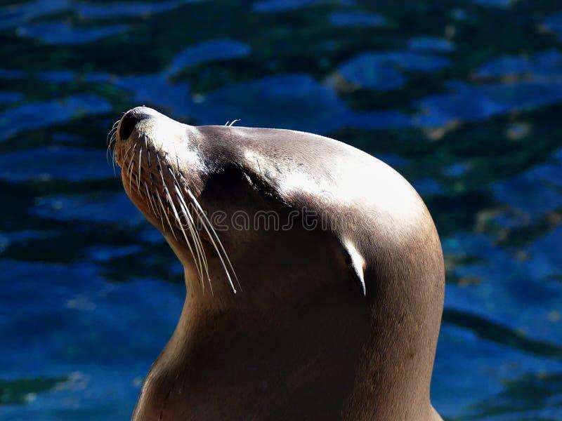 Λιοντάρι θάλασσας που χαλαρώνει στον ήλιο στοκ φωτογραφία