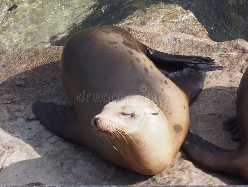 Λιοντάρι θάλασσας σε Monterey στοκ φωτογραφίες
