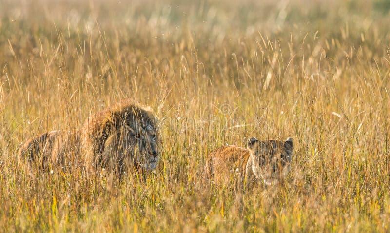 Λιοντάρι και λιονταρίνα που στέκονται από κοινού _ Δέλτα Okavango στοκ εικόνα