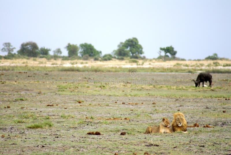 Λιοντάρι και λιονταρίνα στη Μποτσουάνα στοκ εικόνες