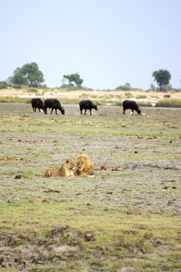 Λιοντάρι και λιονταρίνα στη Μποτσουάνα στοκ φωτογραφία με δικαίωμα ελεύθερης χρήσης