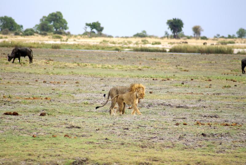 Λιοντάρι και λιονταρίνα στη Μποτσουάνα στοκ φωτογραφία