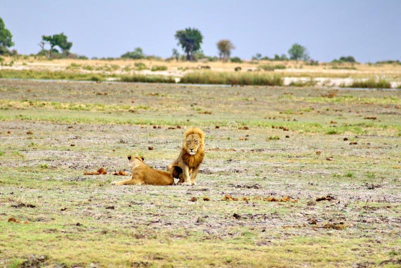 Λιοντάρι και λιονταρίνα στη Μποτσουάνα στοκ εικόνα με δικαίωμα ελεύθερης χρήσης