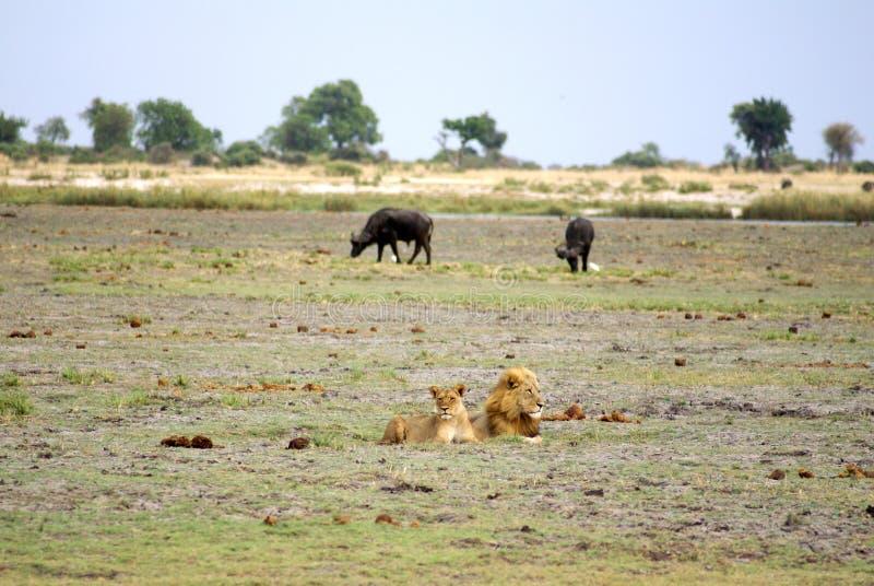 Λιοντάρι και λιονταρίνα στη Μποτσουάνα στοκ φωτογραφίες με δικαίωμα ελεύθερης χρήσης