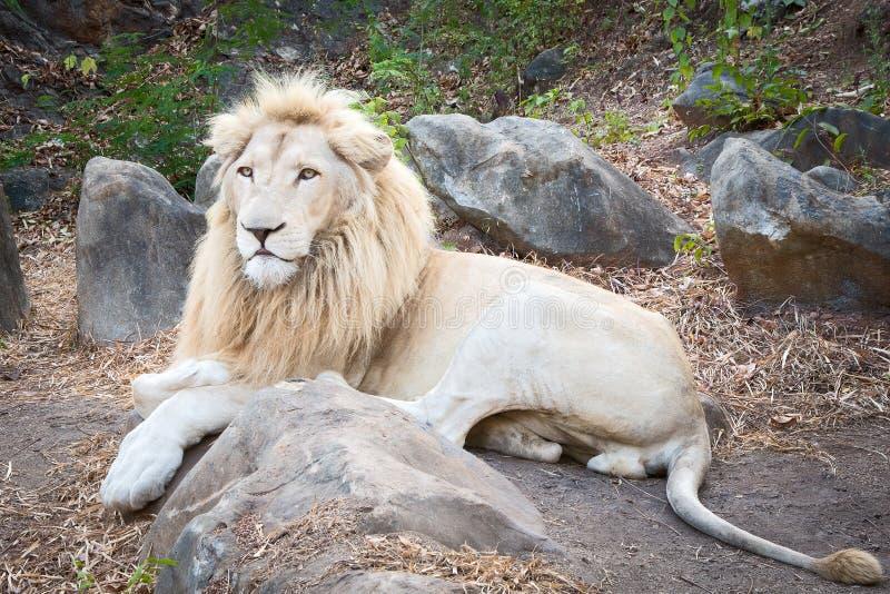 Λιοντάρι κινηματογραφήσεων σε πρώτο πλάνο στοκ φωτογραφίες
