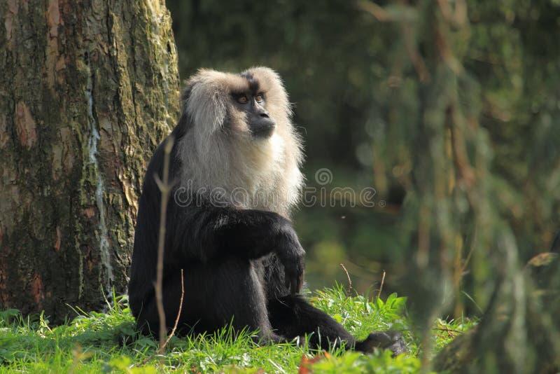 Λιοντάρι-παρακολουθημένος macaque στοκ εικόνα