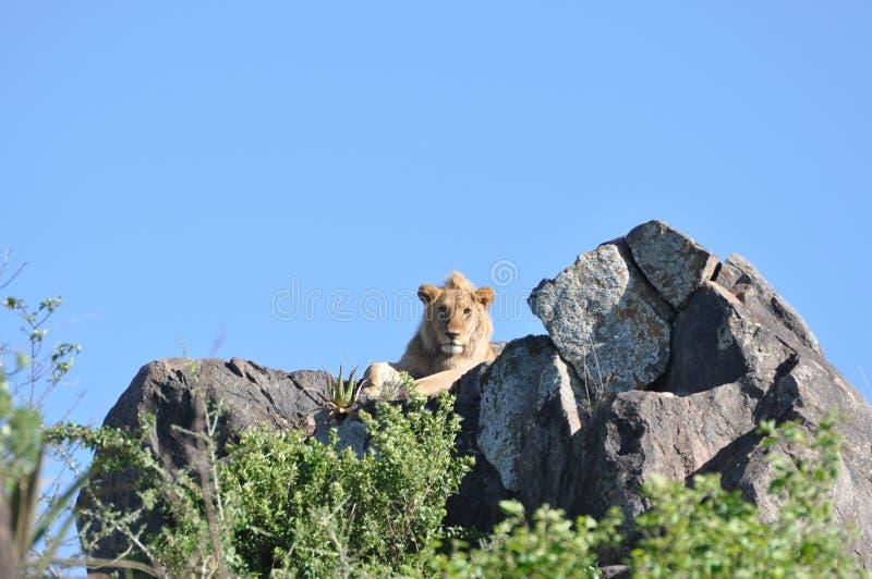 Λιοντάρι που κοιτάζει επίμονα σε σας από τον απότομο βράχο σε Serengeti στοκ φωτογραφίες