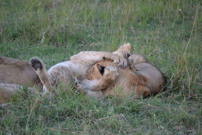 Λιοντάρι σε Maasai Mara, Κένυα στοκ φωτογραφίες