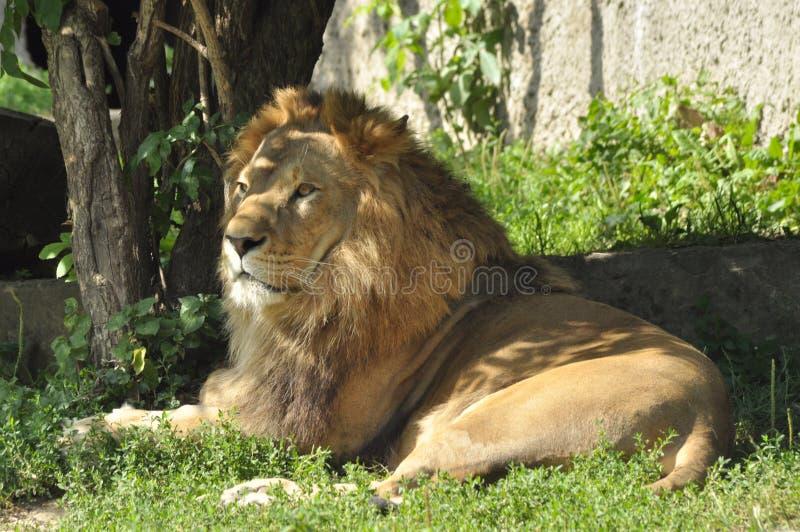 Λιοντάρι στο ζωολογικό κήπο στοκ φωτογραφίες με δικαίωμα ελεύθερης χρήσης