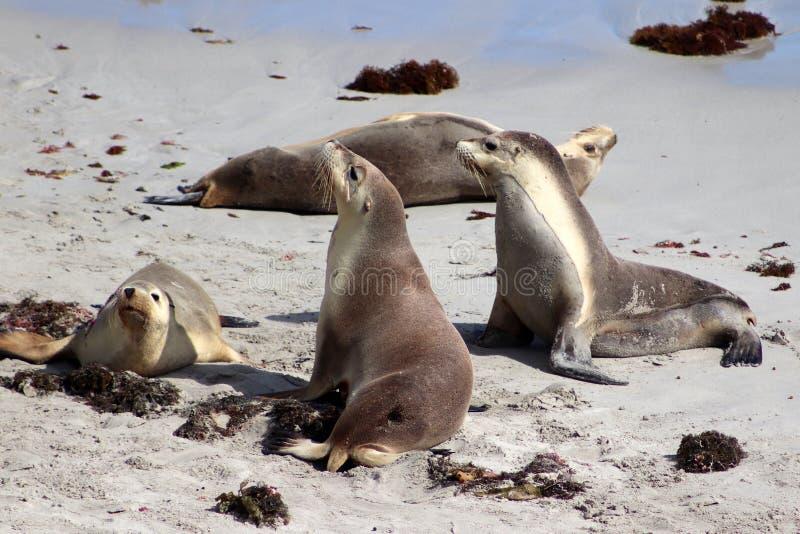 Λιοντάρι τεσσάρων θάλασσας στην άσπρη παραλία του κόλπου σφραγίδων στο νησί Αυστραλία καγκουρό στοκ φωτογραφίες με δικαίωμα ελεύθερης χρήσης