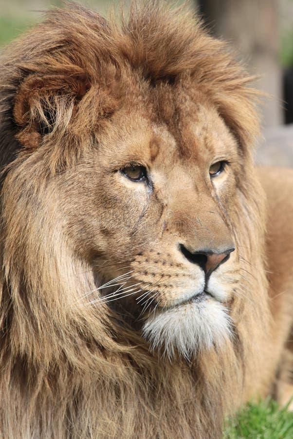λιοντάρι υπερήφανο στοκ εικόνα με δικαίωμα ελεύθερης χρήσης
