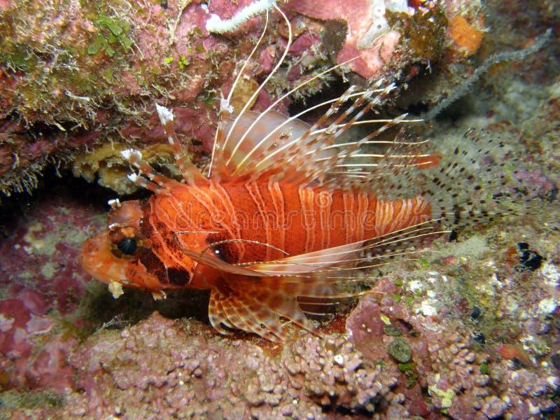 Download λιοντάρι ψαριών antennata στοκ εικόνες. εικόνα από ειρηνικός - 13177370