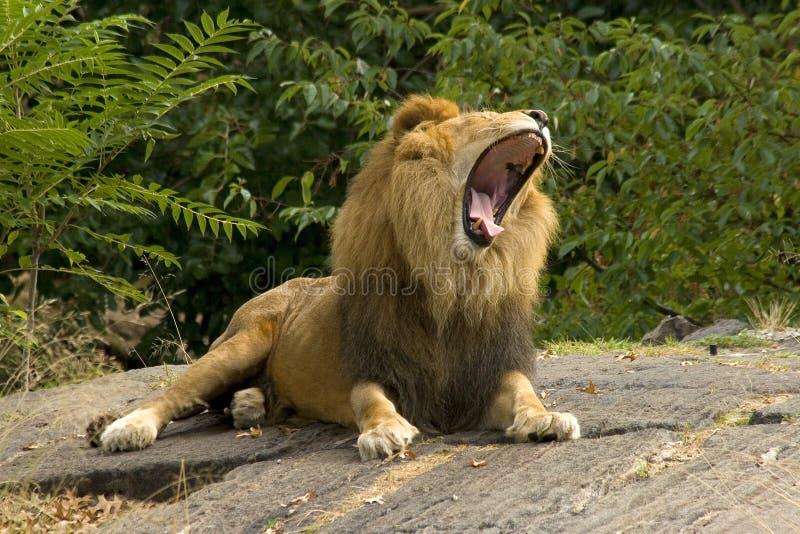 λιοντάρι στοκ εικόνα με δικαίωμα ελεύθερης χρήσης