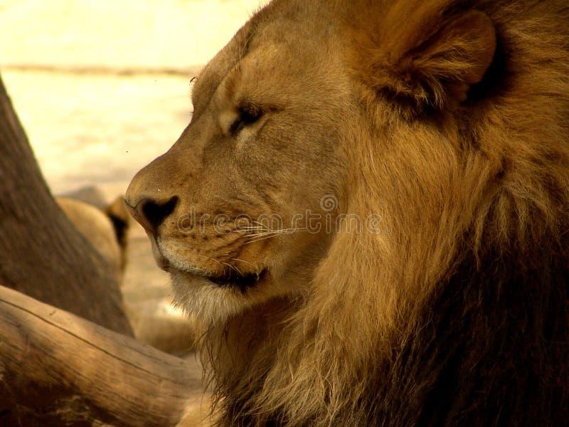 Download λιοντάρι στοκ εικόνες. εικόνα από λιοντάρι, εγκάρδιος, γενναίο - 78748