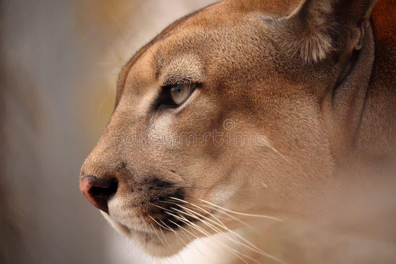 Λιοντάρι Cougar ή βουνών στοκ εικόνες