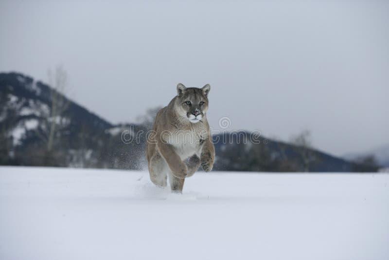 Λιοντάρι Puma ή βουνών, concolor Puma στοκ εικόνες