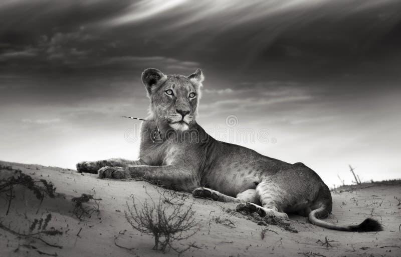 λιονταρίνα αμμόλοφων ερήμων στοκ φωτογραφία με δικαίωμα ελεύθερης χρήσης