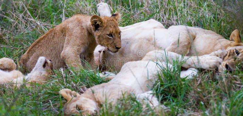 Λιονταρίνα και απορρίματα Cubs περιποίησης στοκ φωτογραφία με δικαίωμα ελεύθερης χρήσης