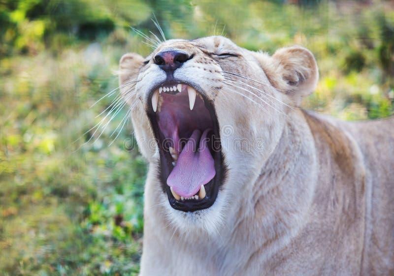 Λιονταρίνα με ένα ανοικτό στόμα στοκ φωτογραφίες