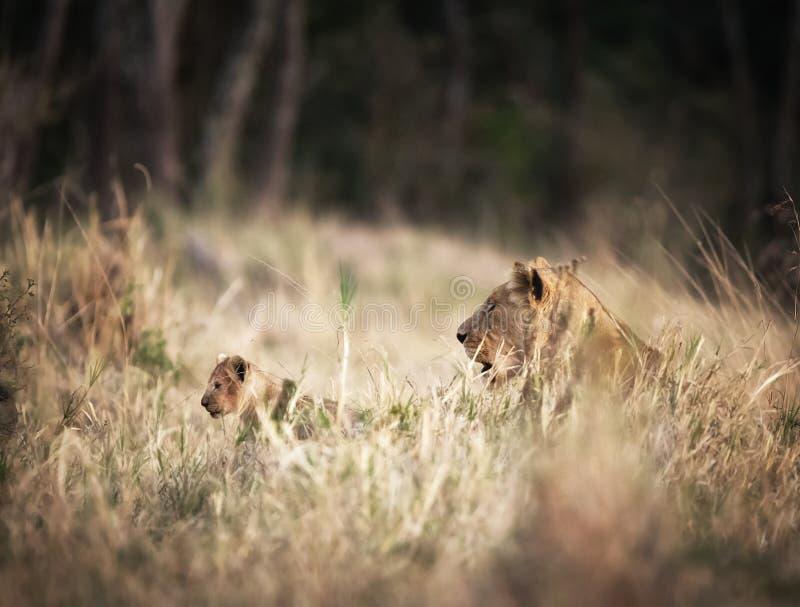 Λιονταρίνα με νέο cub στοκ φωτογραφίες με δικαίωμα ελεύθερης χρήσης